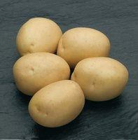 Сильвана, семенной картофель