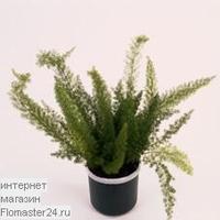 Аспарагус (Asparagus densiflorus Meyers)