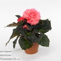 Бегония (Begonia Go-Go Rose)