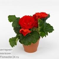 Бегония (Begonia Go-Go Scarlet)