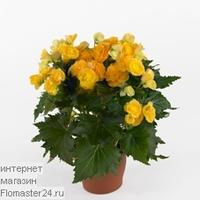 Бегония (Begonia Roxanne)