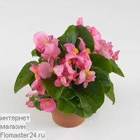 Бегония (Begonia Volumia Pink)