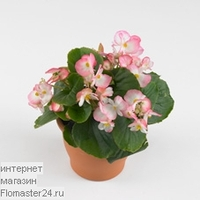 Бегония (Begonia Volumia Rose Twincolor)