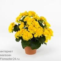 Бегония (Begonia Rebecca)