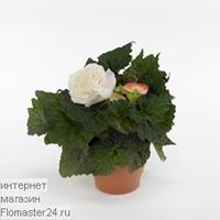 Бегония (Begonia Go-Go Appleblossom)
