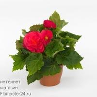 Бегония (Begonia Go-Go Cherry)