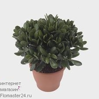 Крассула (Crassula Magical)