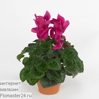 Цикламен (Cyclamen Maxora Wine Red)