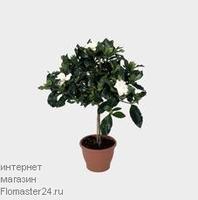 Гардения (Gardenia Kimberly)