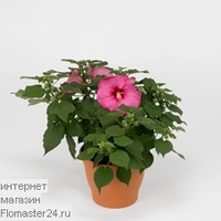 Гибискус (Hibiscus Guido Pink)
