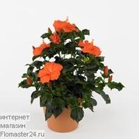 Гибискус (Hibiscus Hirio)