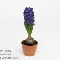 Гиацинт (Hyacinthus Blue Trophy)