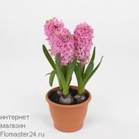 Гиацинт (Hyacinthus Early Bird)