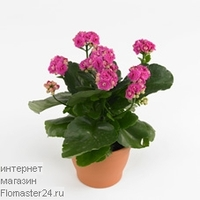Каланхоэ (Kalanchoe Purple Jodie)