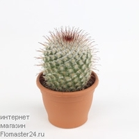 Маммиллярия (Mammillaria parkinsonii)