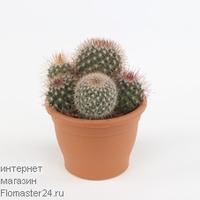 Маммиллярия (Mammillaria spinosissima)