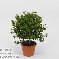 Мирт (Myrtus molinae)