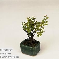 Сагеретия (Sageretia Bonsai)