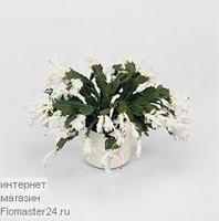 Декабрист (Schlumbergera Witte Eva)