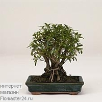 Серисса (Serissa Bonsai)