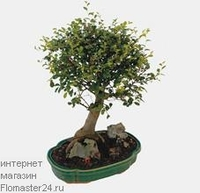 Дзельква (Zelkova Bonsai)