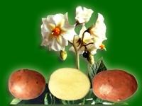 Радонежский, семенной картофель