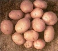 Рябинушка, семенной картофель