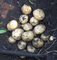 Елизавета, семенной картофель