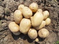 Невский, картофель семенной
