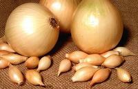Купидо, озимый лук севок