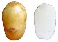 Аврора, семенной картофель