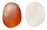 Снегирь, семенной картофель
